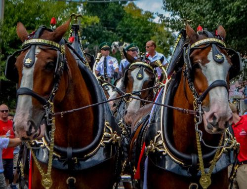 Photo Recap: Budweiser Clydesdales in New Hope